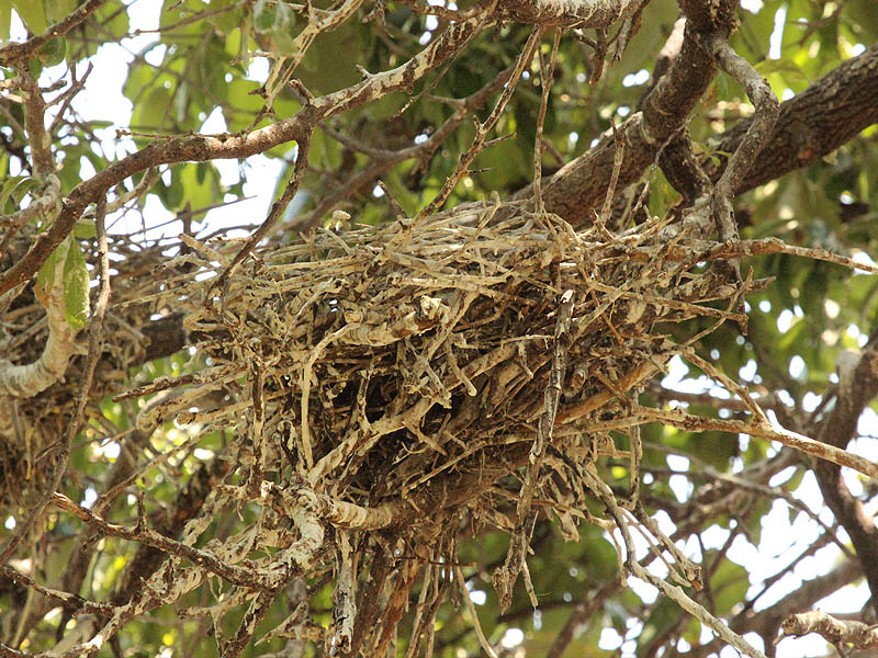 White Ibis – UTSWMC Nest Update 12