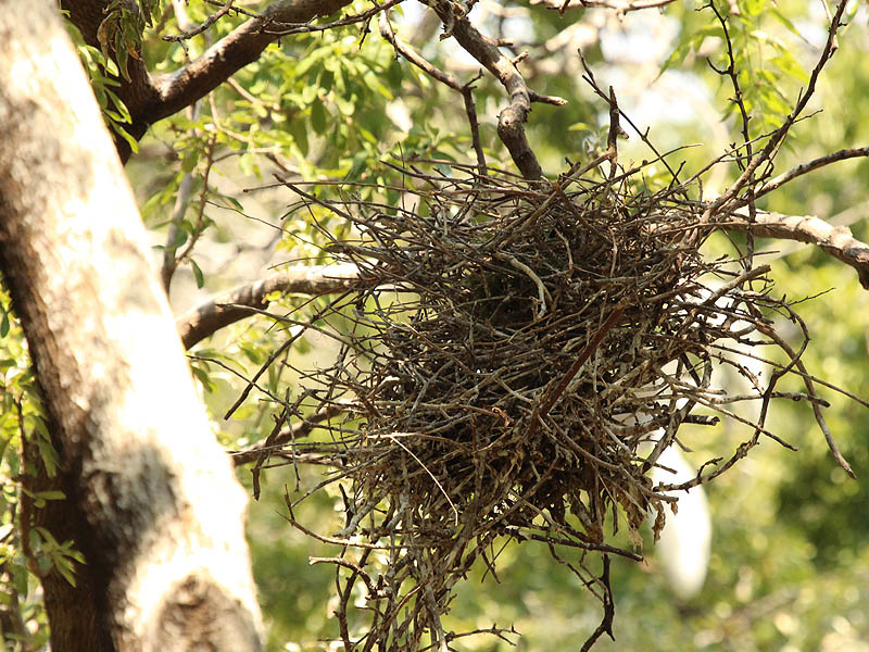 White Ibis – UTSWMC Nest Update 12