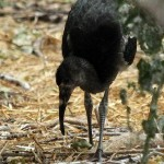 White Ibis - UTSWMC Nest Update The Last