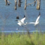 Whooping Crane - Lake Lewisville: Air Show