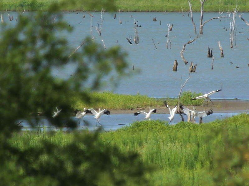 Whooping Crane - Lake Lewisvile: Air Show
