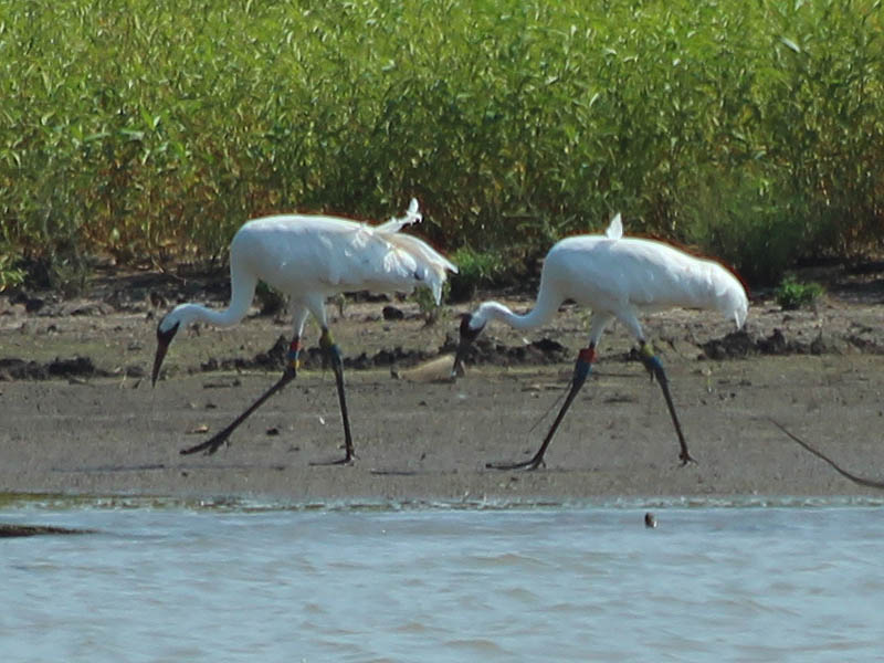 Whooping Crane - Lake Lewisville: More Changes
