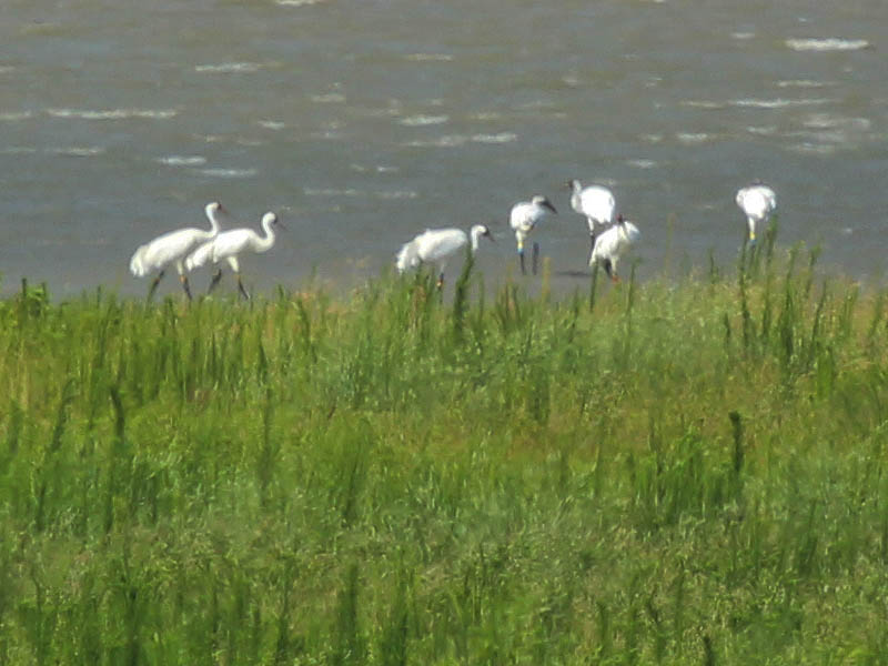 All seven Whooping Cranes at Lake Lewisville in Denton County, Texas.