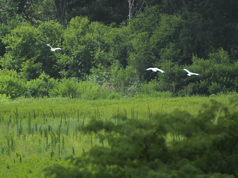 Whooping Crane - Lake Lewisville: More Surprises