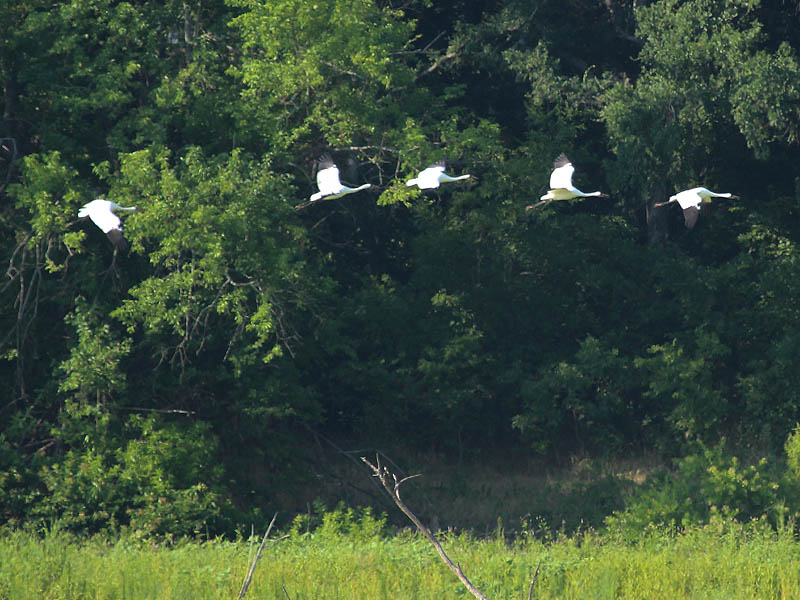 Whooping Crane - Separate Ways