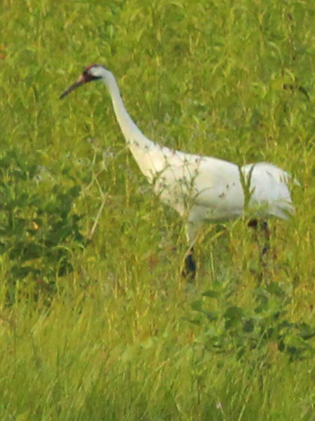 Whooping Crane - This Time For Real