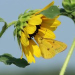 Alfalfa Butterfly - Sunflower