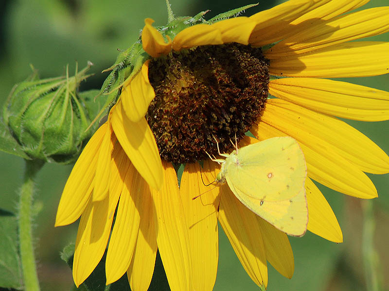 Alfalfa Butterfly - Sunflower