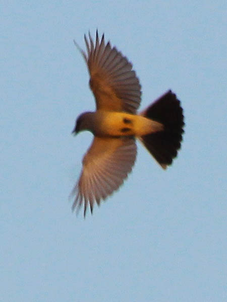 American Kestrel - Run Off
