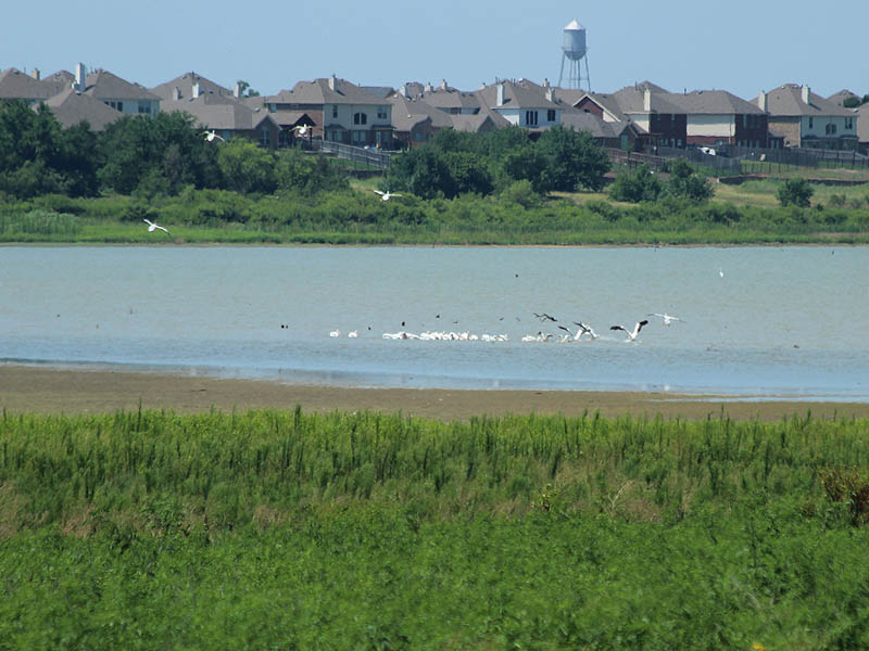 American White Pelican - Nonmigratory