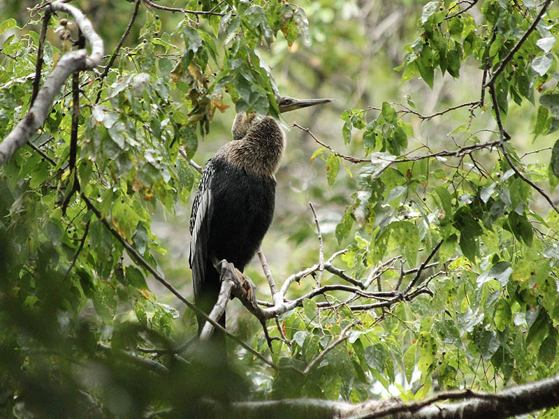 This young Anhinga would prefer that the rain stop.