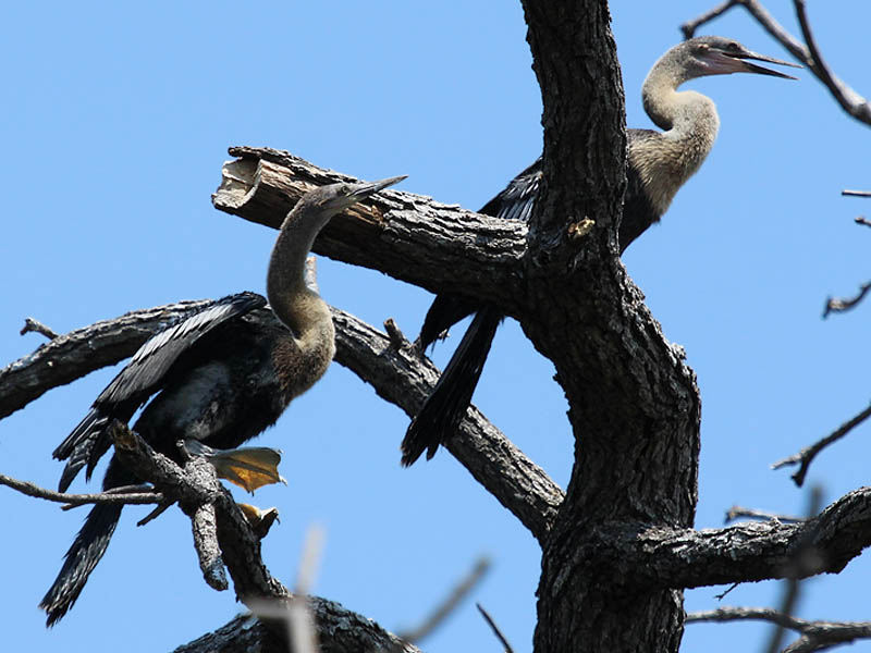 A pair of fledgling Anhingas.
