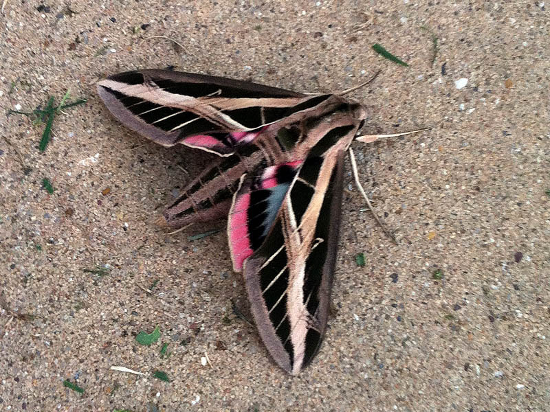 Banded Sphinx Moth - Driveway