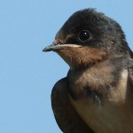 Barn Swallow - Extended Childhood