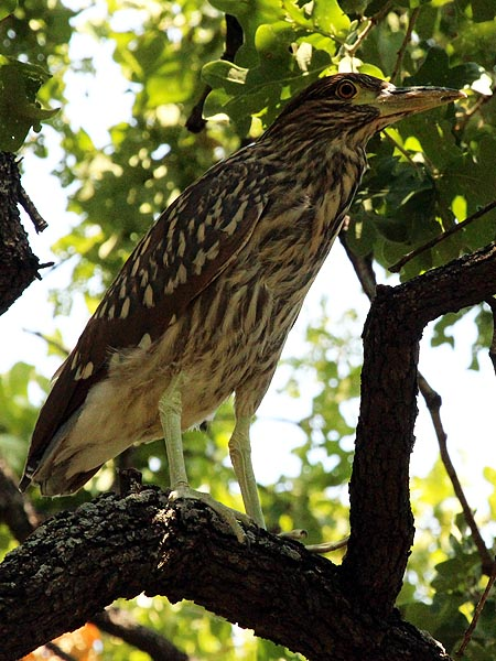 Black-crowned Night Heron - Fledgling