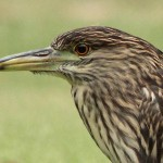 Black-crowned Night Heron - Rainy Day