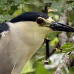 Black-crowned Night Heron - Tongue