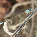 Blue-fronted Dancer - Gender Roles
