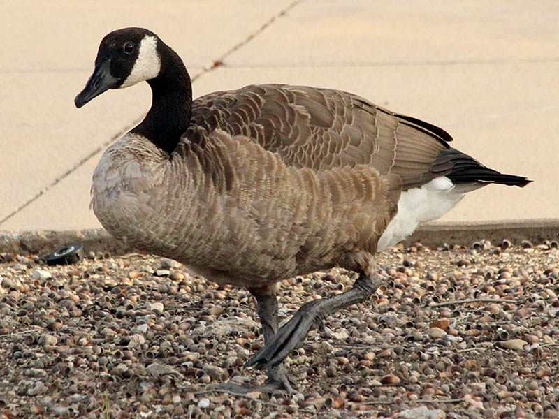 Canada Goose - Cisco Congregation