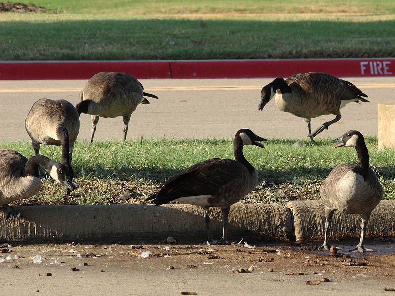 Canada Goose - Prestonwood Baptist Church