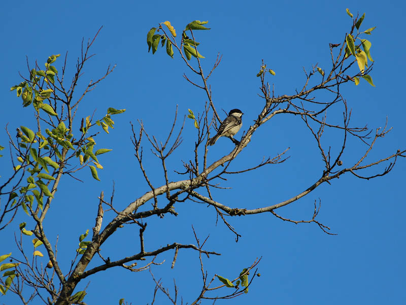 Carolina Chickadee - Blue Sky