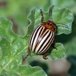 Colorado Potato Beetle - Scourge