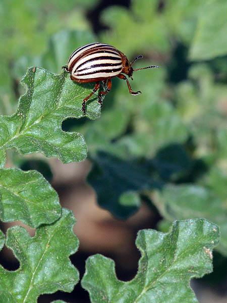 Colorado Potato Beetle - Scourge