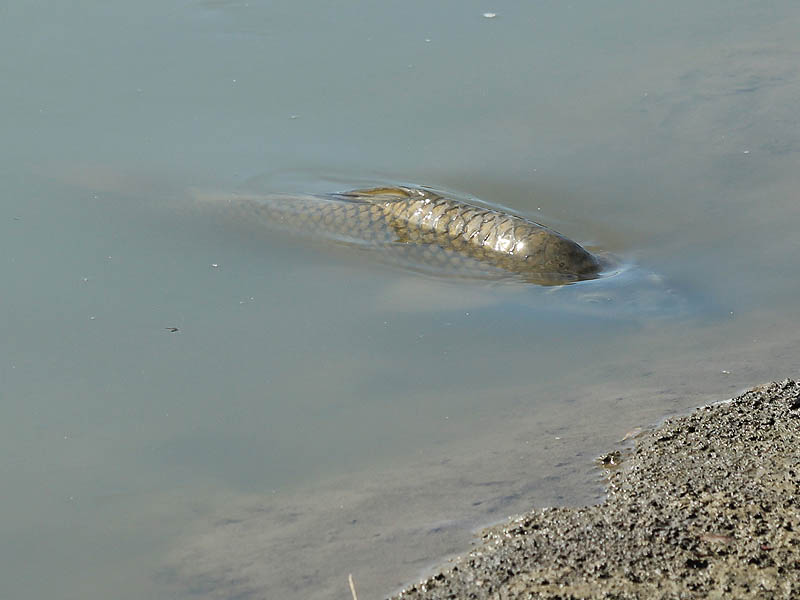 Common Carp - Coming Along