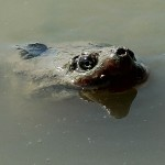 Common Snapping Turtle - Snorkeling