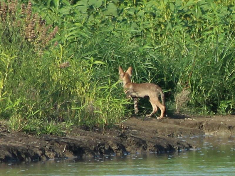 Coyote - Pups!