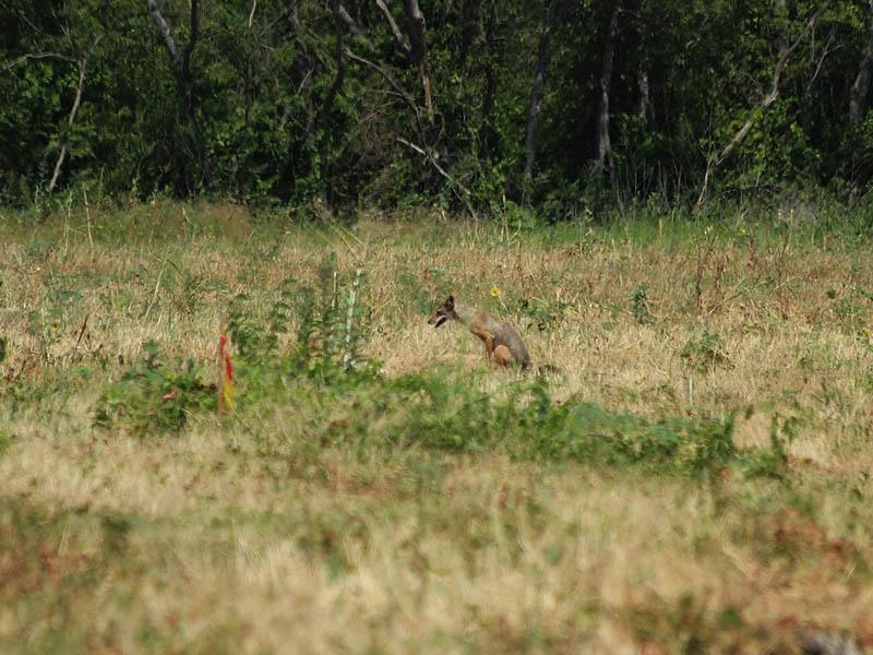Coyote - Second Look