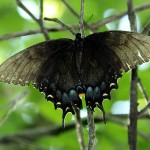 Eastern Tiger Swallowtail - Black Form