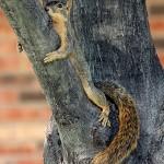 Fox Squirrel - Lounging