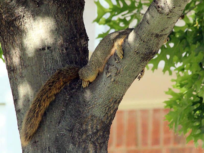 Fox Squirrel - Lounging