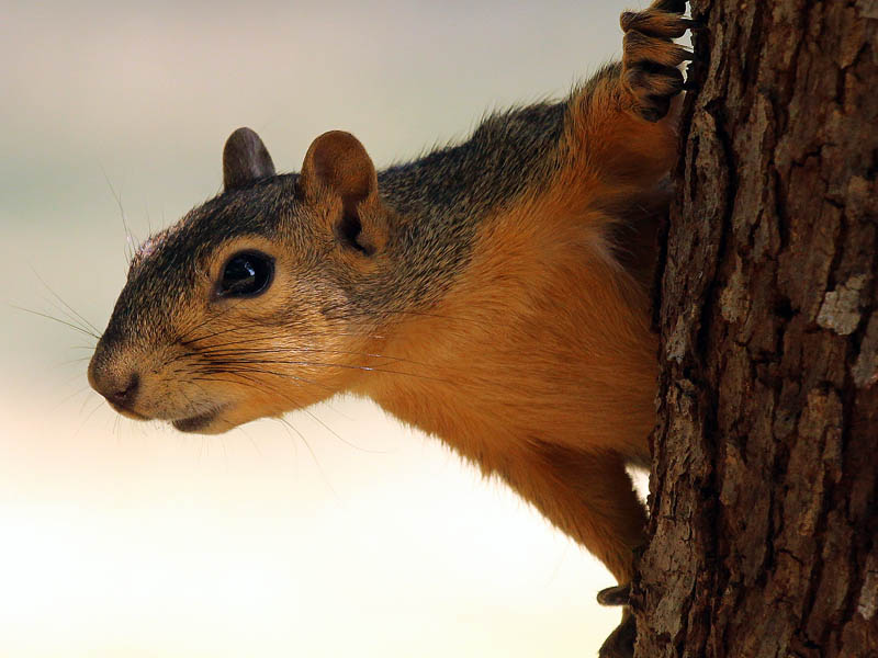 Fox Squirrel - Outlook