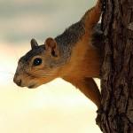 Fox Squirrel - Outlook
