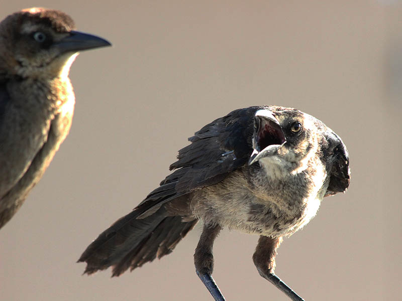 Great-tailed Grackle - Demands