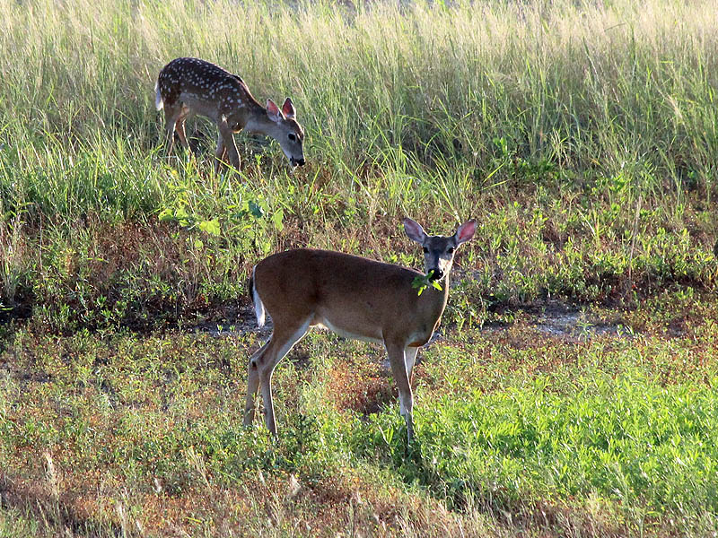 A doe and her fawn in the early morning light.