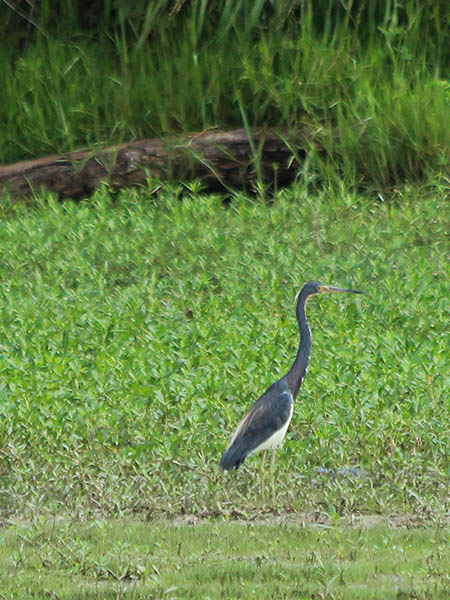 Tricolored Heron.