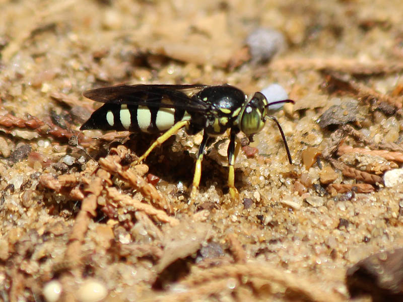 Sand Wasp.