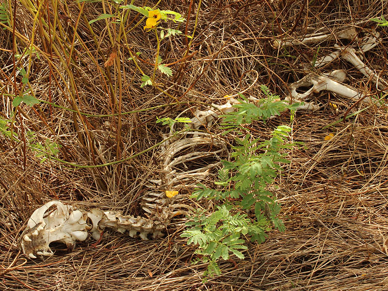 A Bobcat skeleton.
