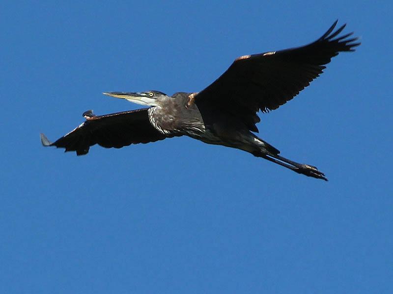 Great Blue Heron - LLELA