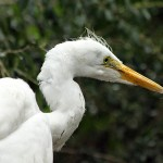 Great Egret - Light Rain