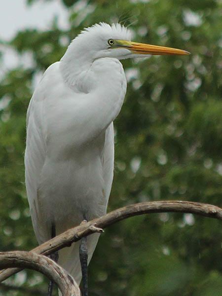 Great Egret - Light Rain