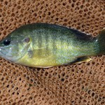 Green Sunfish - Five Mile Creek