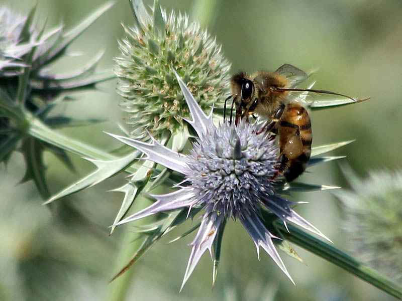 Honey Bee - False Purple Thistle