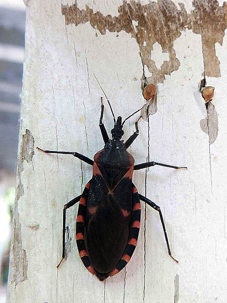 Kissing Bug - Getting Fresh