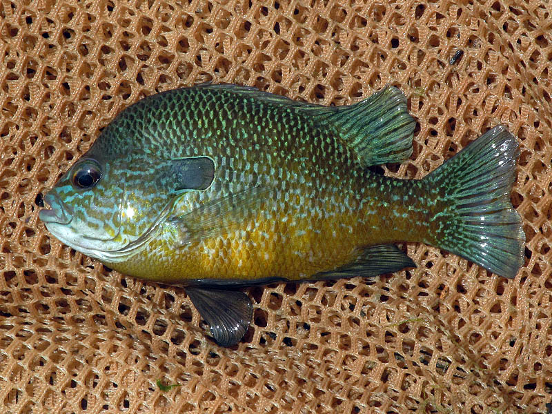An adult Longear Sunfish with striking coloration.