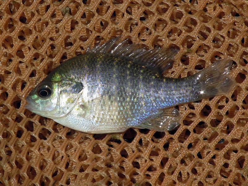 A juvenile Longear Sunfish.