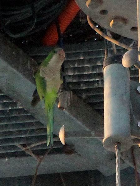 A closer look at the parakeet perched underneath the nest.